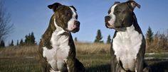 De Amerikaanse Staffordshire Terriër heeft geleid tot vele discussie over zijn afkomst. Er wordt gezegd dat de Amerikaanse Staffordshire Terriër en de Amerikaanse Pitbull Terrier hetzelfde ras zijn. De Amerikaanse Staffordshire Terriër is inderdaad de naam van de show stam, terwijl de vechthond stam wordt bestempeld als de Amerikaanse Pitbull Terrier. Ze zijn gefokt om dezelfde eigenschappen dezelfde bouw te hebben.