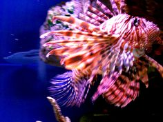 Lion Fish. Very colorful!