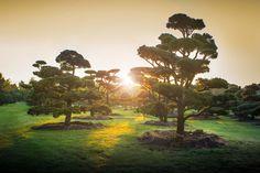 IMG_4168 Pinus sylvestris Bonsai-alakfa sz450:500 m 500:600