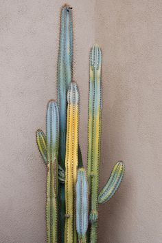 great cactus - I have one similar in size and form, except mine has DOZENS of little babies coming out from everywhere, whereas this one only had a few. I like the different colors this one has, mine is all green. I think it is starting to flower for the first time I know about. There are lots of little shoots at the top of all the large stems that are different and closer together than the babies or stems that are all over the rest of the cactus. I am watching excitedly to see what happens