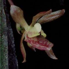 Nueva especie de orquídea para Costa Rica