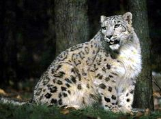Southern snow leopard (Panthera uncia uncioides) //Genus Panthera uncia //Subfamily Pantherinae //Family Felidae