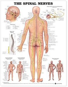 Spinal Nerves anatomy poster shows spinal cord segments, cutaneous distribution of spinal nerves and dermal segmentation. Neurology chart for doctors and nurses. Muscle Anatomy, Body Anatomy, Human Anatomy, Spinal Nerves Anatomy, Nerve Anatomy, Nerf Spinal, Spinal Cord, Human Spine, Human Body