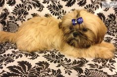 AKC IMPERIAL Male Shih Tzu puppy looks like he belongs on Rodeo Drive!