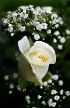 Rose, Baby's Breath - for the guys White Roses, White Flowers, Red Roses, My Flower, Pretty Flowers, Parfum Rose, Every Rose, Colorful Roses, Flower Quotes