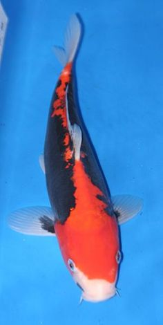 Live koi fish 10 yellow doitsu ki matsuba koibay koi for Yellow koi fish for sale