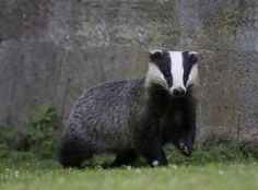 Badger. by Richard McManus on 500px