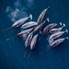 ( these guys fascinate me. - p.mc.n. ) Narwhal
