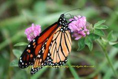 Monarch on the Blue Ridge - Virginia