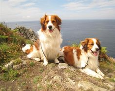 Kooikerhondje~~~The Kooikerhondje is a small, flashy red and white spaniel like-sporting dog. Originally bred in Holland as a duck decoy dog, it's heavily white plumed tail waves Jauntily to entice and lure the ducks to follow into the traps.