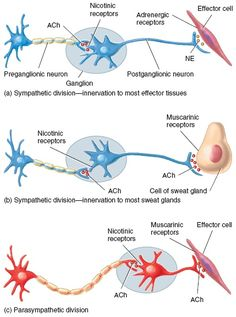 Cholinergic and Adrenergic Neurons in the Sympathetic and Parasympathetic Divisions