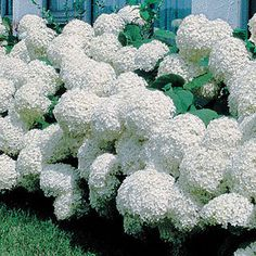 Hydrangea Annabelle: From early summer till fall, it produces enormous 12-inch snowballs of pure white --interestingly, the flower size increases as the season continues, so that the final flush is an extraordinary show!  Growing to 4 feet, 'Annabelle' is a splendid landscape plant that never gets out of bounds. 'Annabelle'is shade-tolerant but also enjoys heat and humidity. Very easy to grow once established, it is a lovely source of fresh and dried arrangements as well as a useful border…