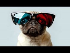 10 Funniest Pug Videos - YouTube