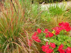 Geraniums and Grasses Grasses, Geraniums, Garden, Plants, Lawn, Garten, Lawn And Garden, Grass, Gardens