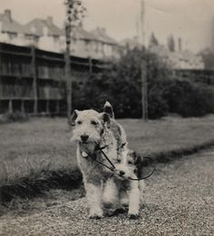 two dogs and a lead, 1930s by TinTrunk, via Flickr
