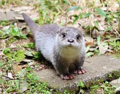 I used to live next to a lake where I once saw a family of river otters swimming close along the path watching me and my dog. They were so precious! Baby Otters, Otters Cute, Cute Baby Animals, Animals And Pets, Funny Animals, Wild Animals, Le Castor, Otter Love, River Otter