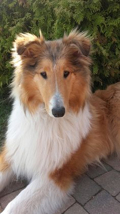 The Shetland Sheepdog originated in the and its ancestors were from Scotland, which worked as herding dogs. These early dogs were fairly small, about 20 inches in height, which further developed into the current Shetland Sheepdog. Rough Collie Puppy, Collie Puppies, Collie Dog, Dogs And Puppies, Doggies, Puppies Tips, Fluffy Puppies, Sweet Dogs, Cute Dogs