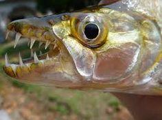 hydrocynus goliath - Απίστευτος θηρευτής!