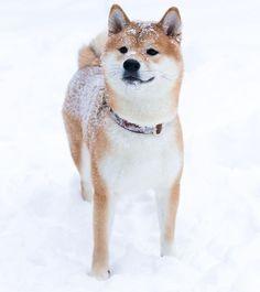 Japanese Dog Breeds, Japanese Dogs, Shiba Inu, Akita Inu Puppy, Pet Dogs, Dog Cat, Doggies, Beautiful Dogs, Animals Beautiful