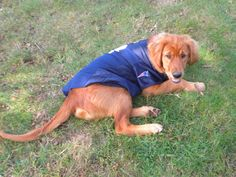 #patriots 4 legged New England Patriot Fan!  go #Pats We totally need two jersey-style shirts for the puppies!  Doesn't need to be complicated - if it has the Pats logo, we'll be good!  Gus and Bening are both about 10 pounds.