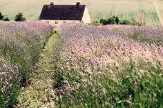 Cotswold Lavender Snowshill Hill, England, United Kingdom