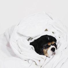 pinterest: @lilyosm | cocker spaniel black tawny dog puppy sheets cute adorable animal