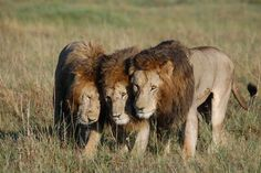 Three of the four Musketeers,Governor's Camp Masai Mara, Kenya