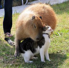 capybara with other animals (10)
