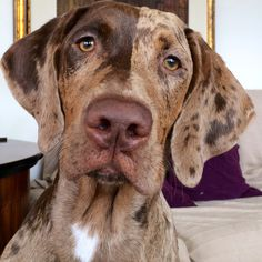 Checo at 5 months old, he is a Catahoula Leopard Dog Dachshund Puppies, Pet Dogs, Dogs And Puppies, Dog Cat, Doggies, Catahoula Cur, Leopard Dog, Dog Rules, Hound Dog