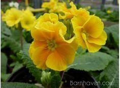 Primula 'HARVEST YELLOWS' A Barnhaven strain.