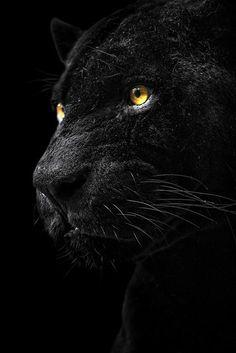 Jaguar - not a separate species