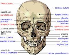 skull bones, via YouTube. | Medical terminology | Pinterest ...