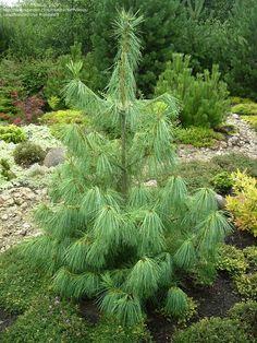 Full size picture of Himalayan Pine, Butan Pine (<i>Pinus wallichiana</i>)