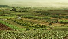 Pineapple and sugar cane fields in Mauritius