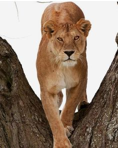 Lioness in tree Big Cats, Cute Cats, Big Cat Family, Animals And Pets, Cute Animals, Female Lion, Gato Grande, Lion And Lioness, Le Roi Lion