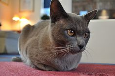 Blue Burmese kitten. I love their golden eyes. By Deano's Gallery @ Flickr