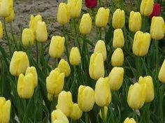 Znalezione obrazy dla zapytania tulipany jasnożółte