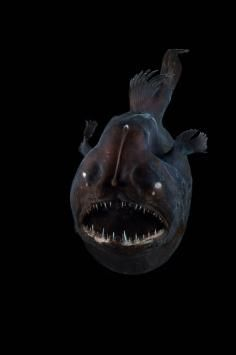 Charlie Gibbs Fracture Zone Hope Spot Deep Sea Angler Fish (c) David Shale, Mar Eco