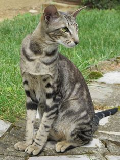 The Oriental cat is a active and intelligent cat. If you are interested in getting this cat as your pet, read more about the Oriental cat breed here. Oriental Shorthair Cats, Exotic Shorthair, Pretty Cats, Beautiful Cats, Cool Cats, Balinese Cat, Gatos Cool, Oriental Cat, Photo Chat