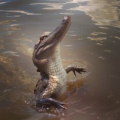 A fabulous croc down in New Orleans...