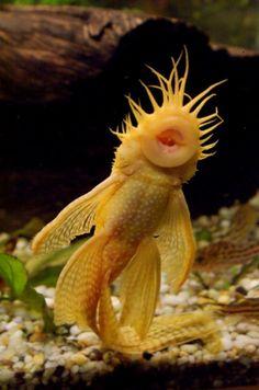 Albino Longfin Bristlenose Catfish