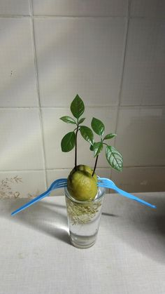 My avocado seed sprouted with two stems - gardening