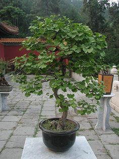 Growing a ginko tree in a container. http://www.doityourself.com/stry/container-growing-a-ginkgo-tree#.Ug0KqG3pySo
