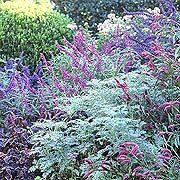 Mexican Sage, Artemisia and Salvia Indigo Spires Make Up a Blue Border