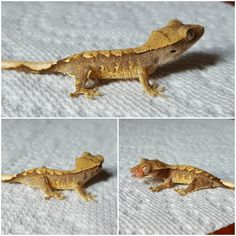 5th of the 7th crested gecko I'm getting its name will be nanner for sure!!
