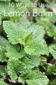 Balm is a bushy perennial herb that has a multitude of uses both culinary and medicinal, here are 10 ways to use lemon balm.Lemon Balm is a bushy perennial herb that has a multitude of uses both culinary and medicinal, here are 10 ways to use lemon balm.