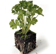 Como cuidar da salsa. Quem gosta de cozinhar saberá que não há nada melhor do que contar com ervas aromáticas frescas para fazer os nossos pratos, mas para além disso estas plantas ocupam pouco espaço e são realmente úteis...