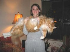 Maine coon - looks like the size of a dog!