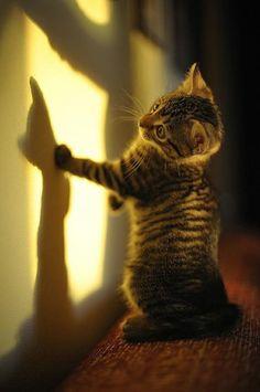 A mischievous kitten shadowboxing!