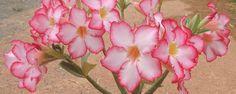 Cultivar Rosas-do-deserto - 8 Segredos no cultivo das Rosas-do-deserto Asrosas-do-deserto (Adeniumspp)são plantas suculentas belíssimas, decauleescultural e floração exuberante, que vem encantando jardineiros no mundo todo. Mas elas tem seus segredinhos para encorpar o caule e as raízes, além disso, você pode estimula... - http://www.resultadoconcursos.com.br/ecoblog/2017/04/20/cultivar-rosas-do-deserto/